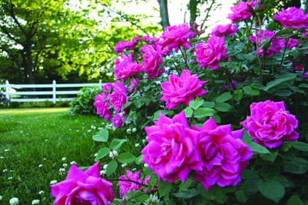 _pinkdoubleknockout_rose-photo1.jpg