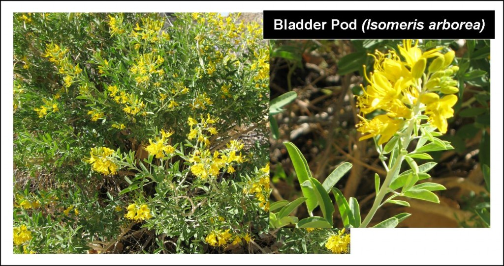 bladder-pod