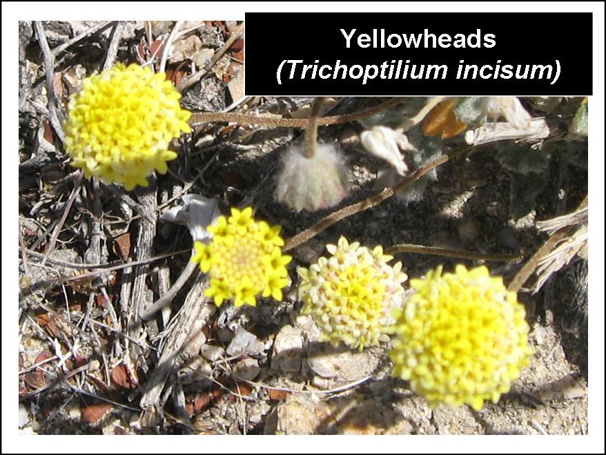 yellowheads