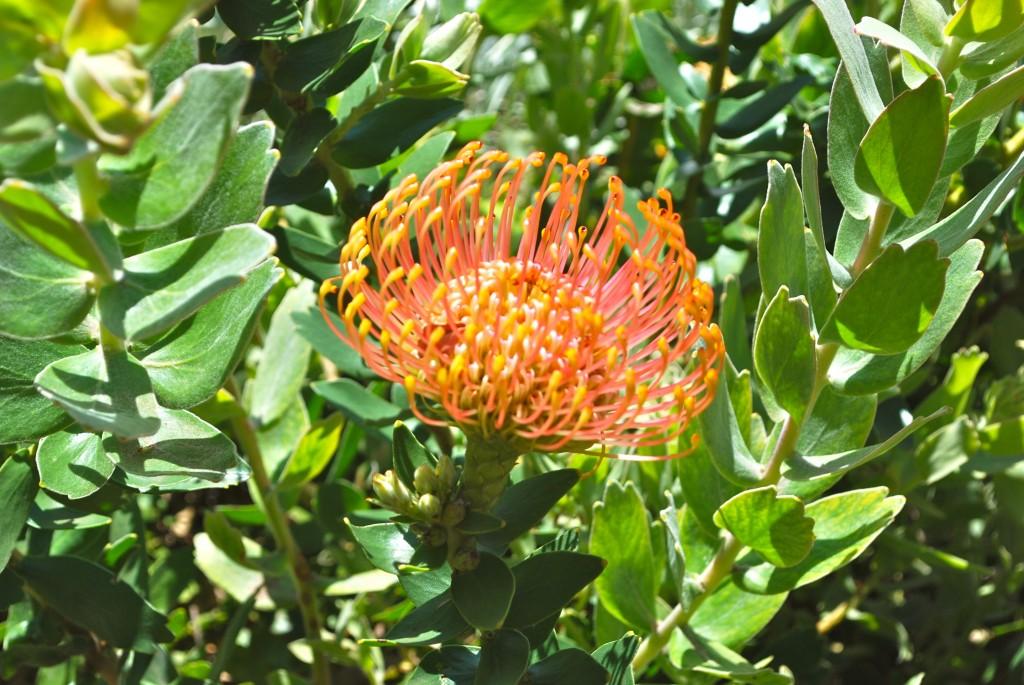 a kind of protea