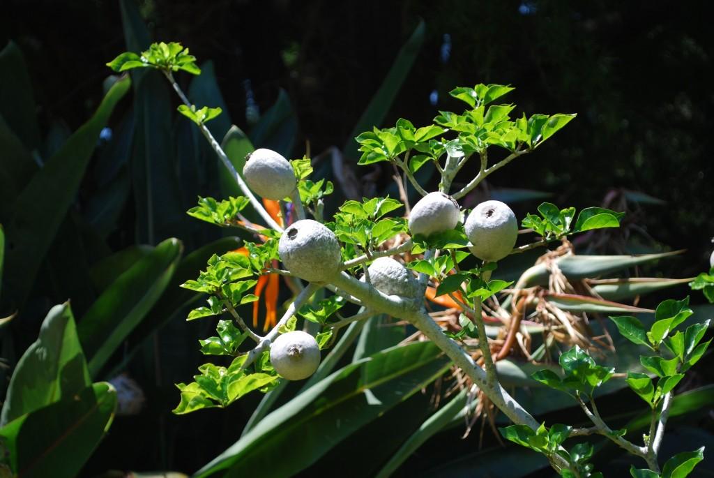 fruits of gardenia lutea