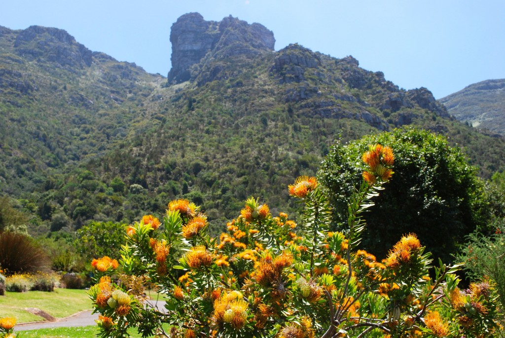 protea against the table top mountain