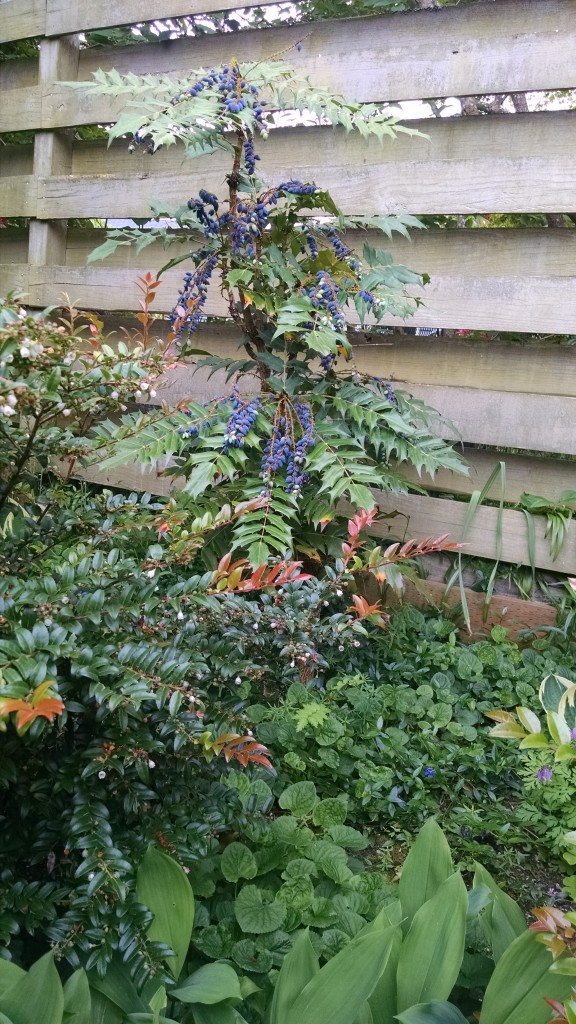 Oregon Grape & Huckleberry