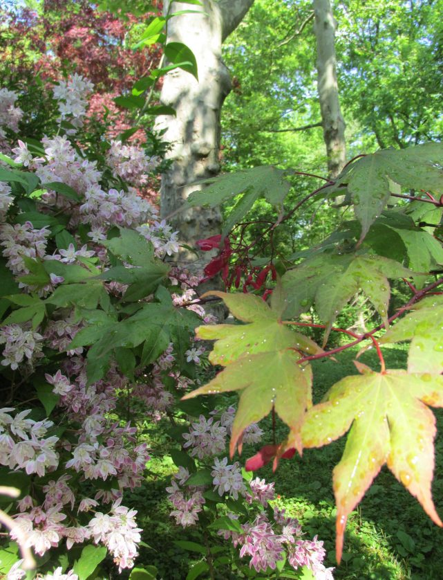 cutleaf maple and deutzia magician